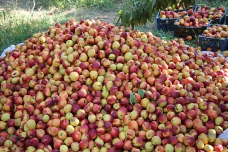 خبرنگاران پیش بینی برداشت بیش از 700 هزار تن انواع میوه از باغات پارس آباد