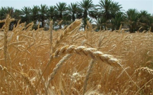 خرید گندم کشاورزان از برنامه عقب مانده است
